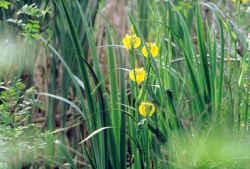 Gîte près de Luçon Sud Vendée et les iris fleurs des marais